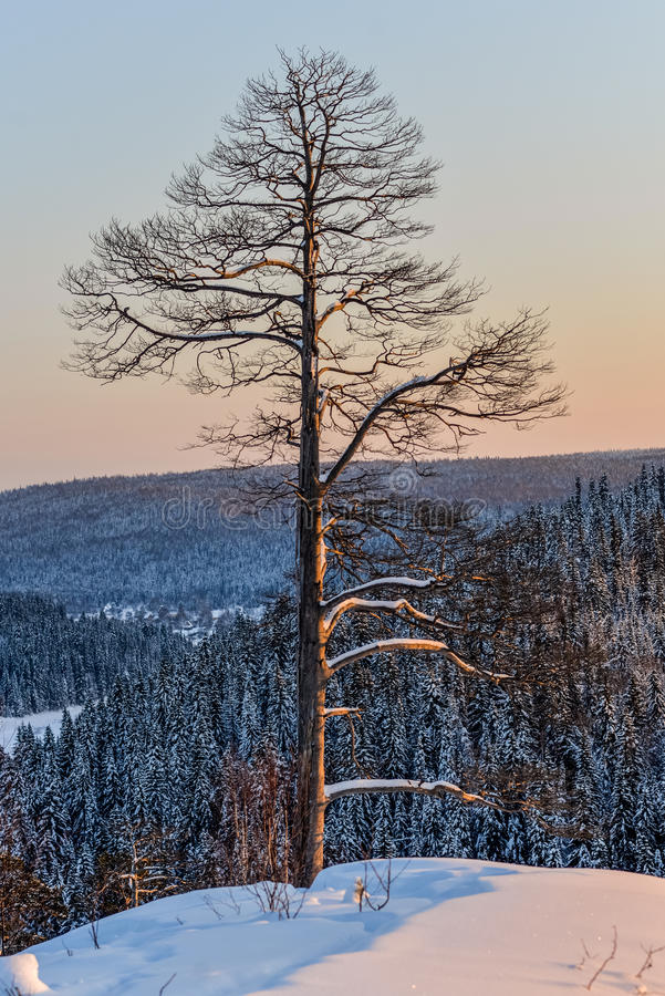 Pine trees in the snow at sunset in the mountains royalty free stock images