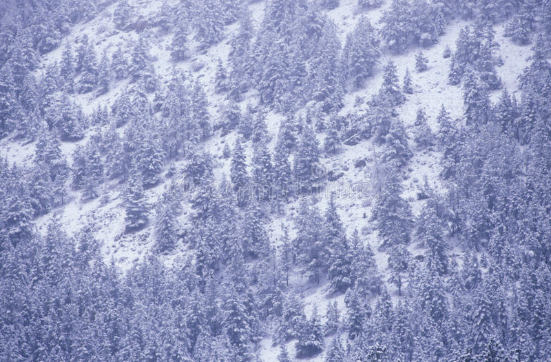 Pine Trees in Snowstorm,