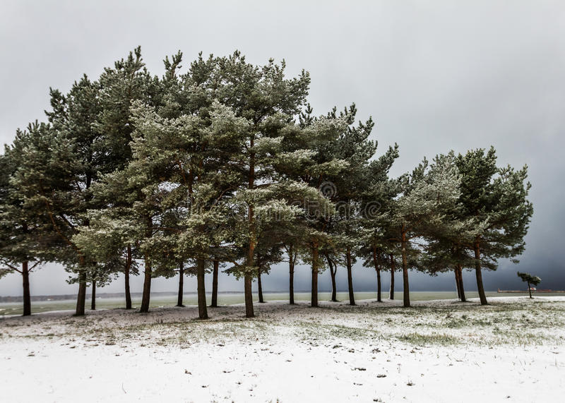 Download Pine Trees On Snowy Sea Bank Stock Images - Image: 29016664
