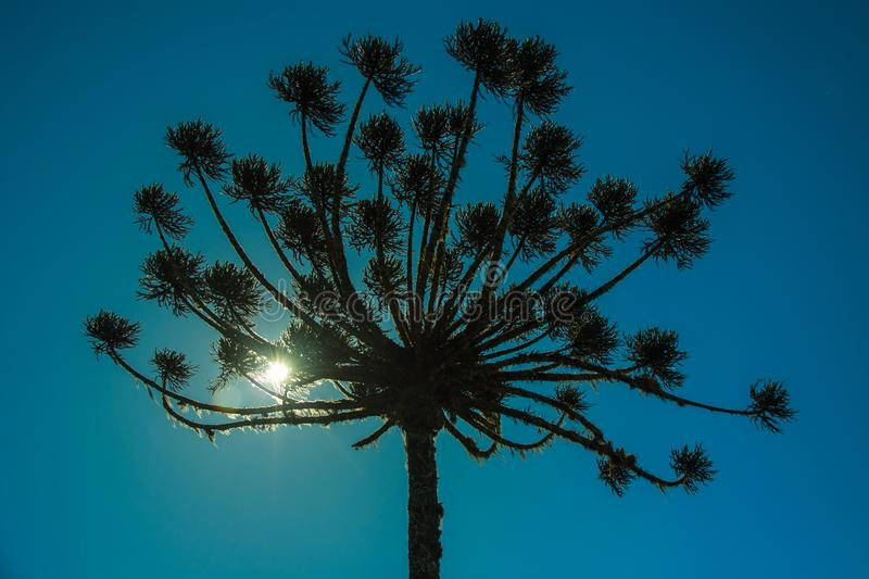 Pine trees with sunlight passing through branches stock images