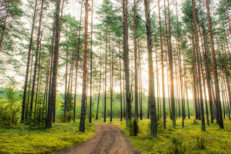Pine trees at sunrise. Dense pine forest and road path stock photography