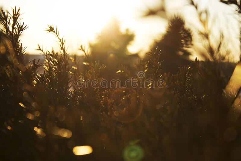 Pine trees at sunset royalty free stock photo