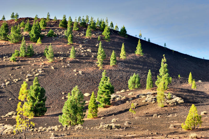 Download Pine Trees In Teide National Park, Tenerife Stock Photo - Image: 22534142