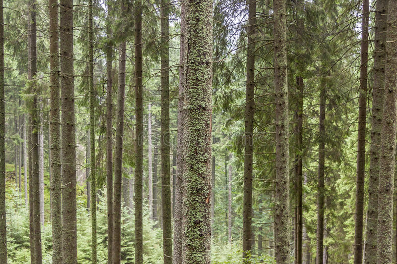 Pine Trees Texture - Poland. Royalty Free Stock Photos