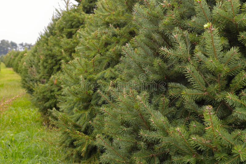 Download Pine trees on a tree farm stock photo. Image of envrionmental - 29115882