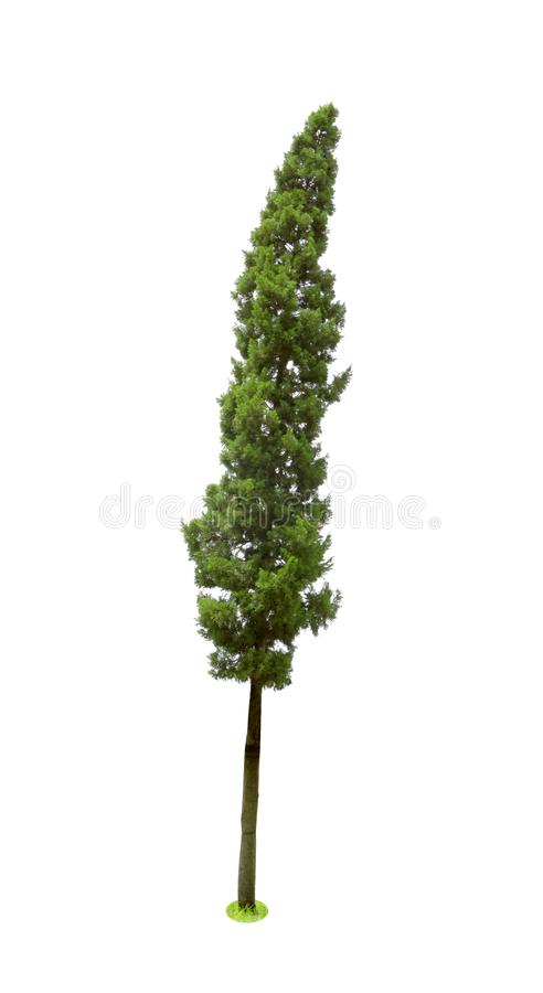 Pine trees tropics isolated on white background,CUPRESSACEAE,Juniperus Chinensis L.  royalty free stock photos