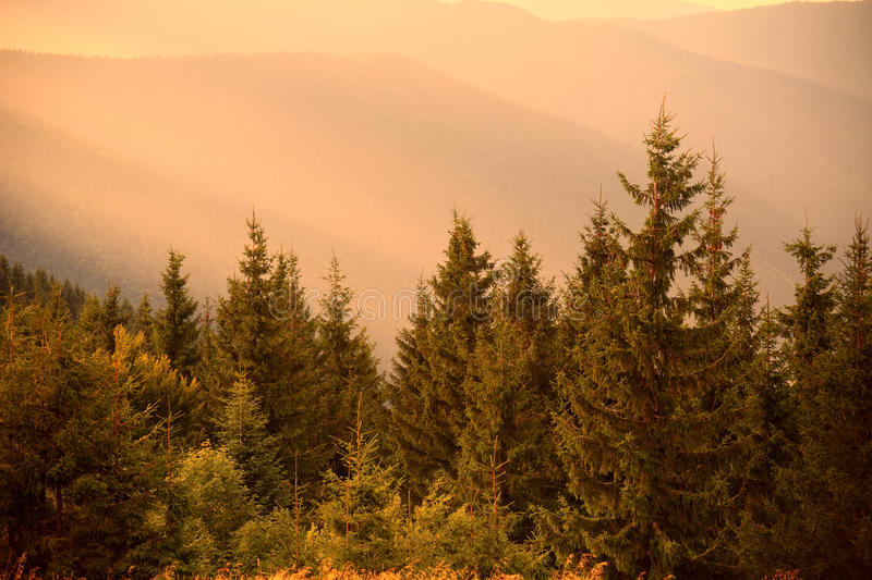 Pine trees in warm sun light and misty hills stock photography
