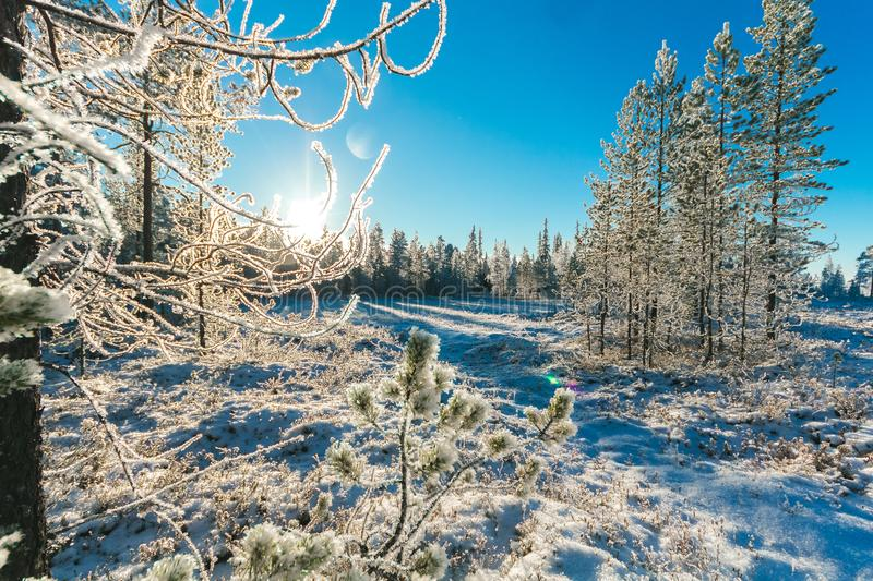 Pine Trees in Winter stock photography