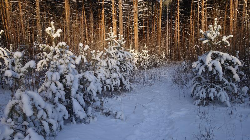 Pine trees in winter forest. Snow caps on branches stock photos