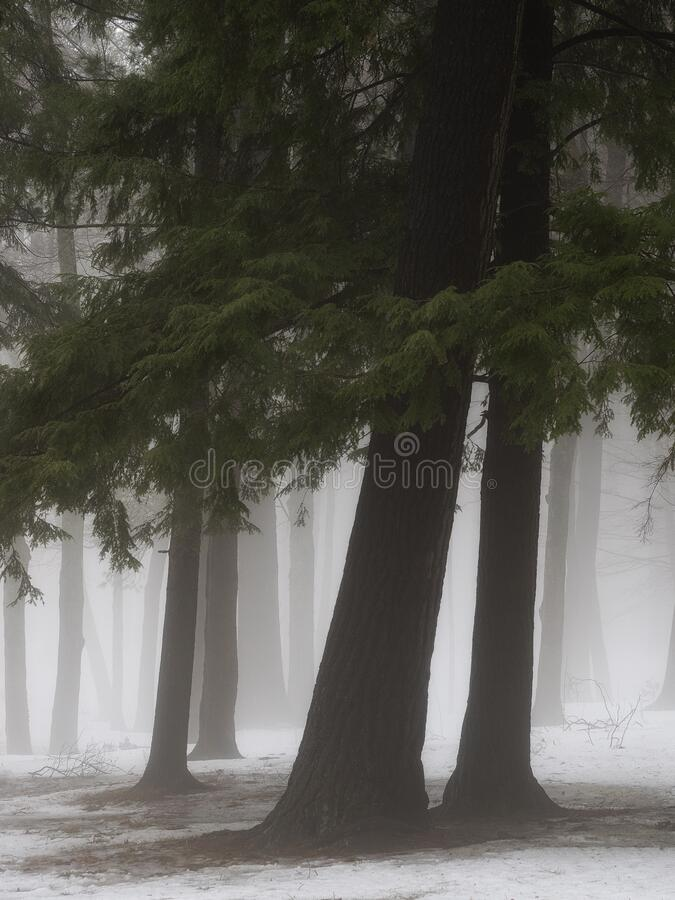 Pine trees in winter mist royalty free stock image