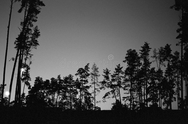 Pine tress. Black and white pine tress in forest royalty free stock image