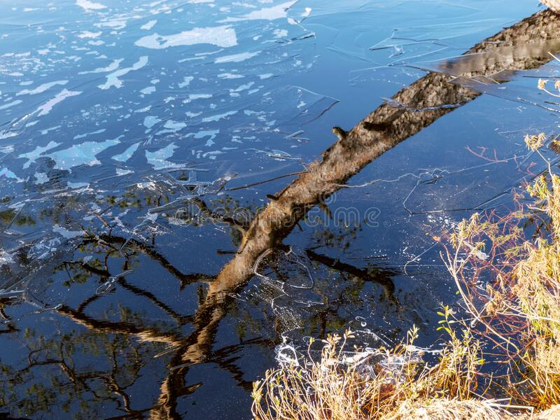 Pine trunk and glare. The water surface is covered with thin ice royalty free stock images