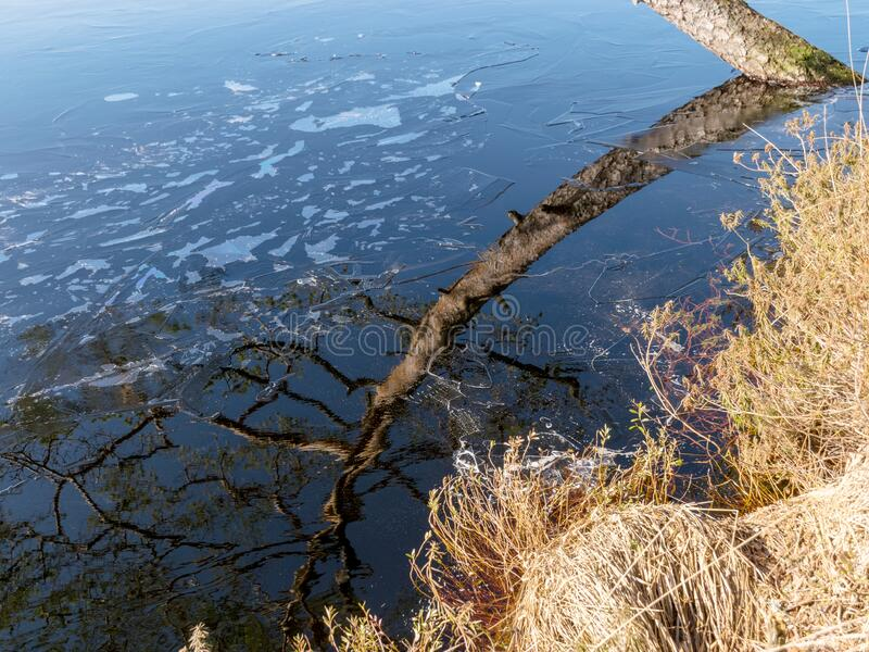 Pine trunk and glare. The water surface is covered with thin ice royalty free stock photography