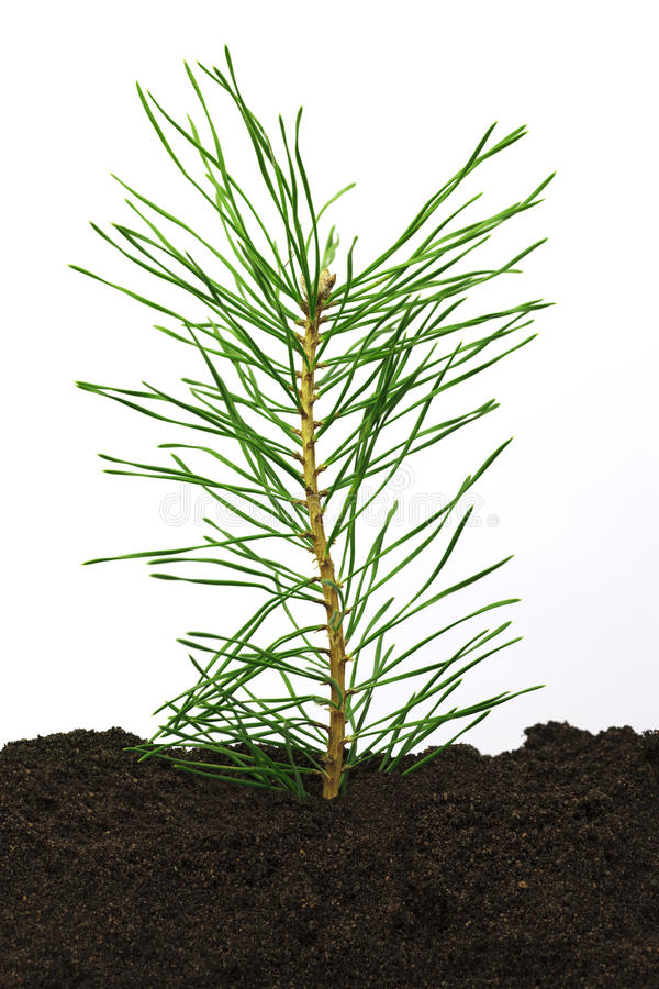 Download Pine twig in soil stock photo. Image of flora, concept - 23903988