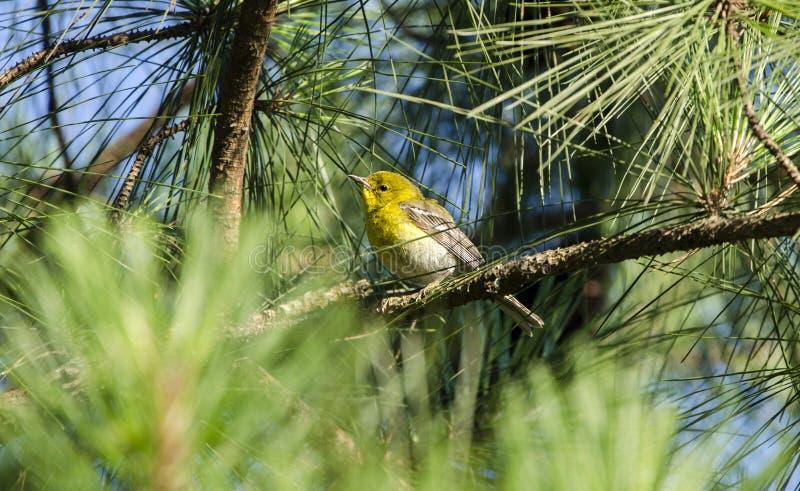 Pine Warbler bird in Loblolly Pine Tree, Georgia USA royalty free stock photography