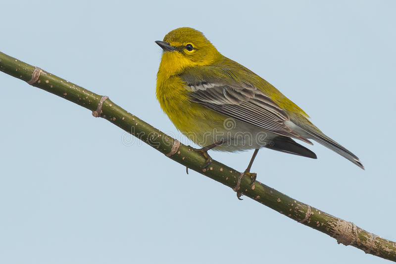 Pine Warbler. Perched on a branch royalty free stock photography
