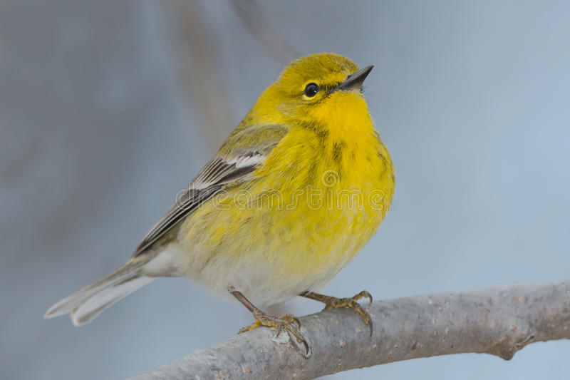 Pine Warbler. Perched on a branch royalty free stock images