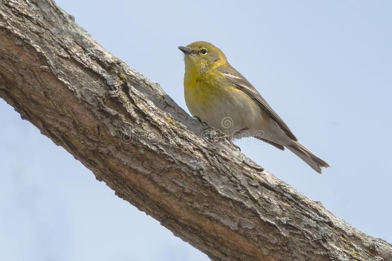 Pine Warbler. Perched on a branch royalty free stock photos