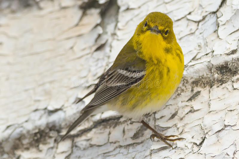 Pine Warbler. Perched on a wall stock image