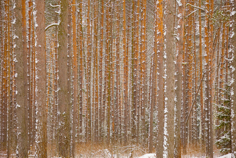 Download Pine Winter Forest - Trunks Of Trees Stock Image - Image: 14222553