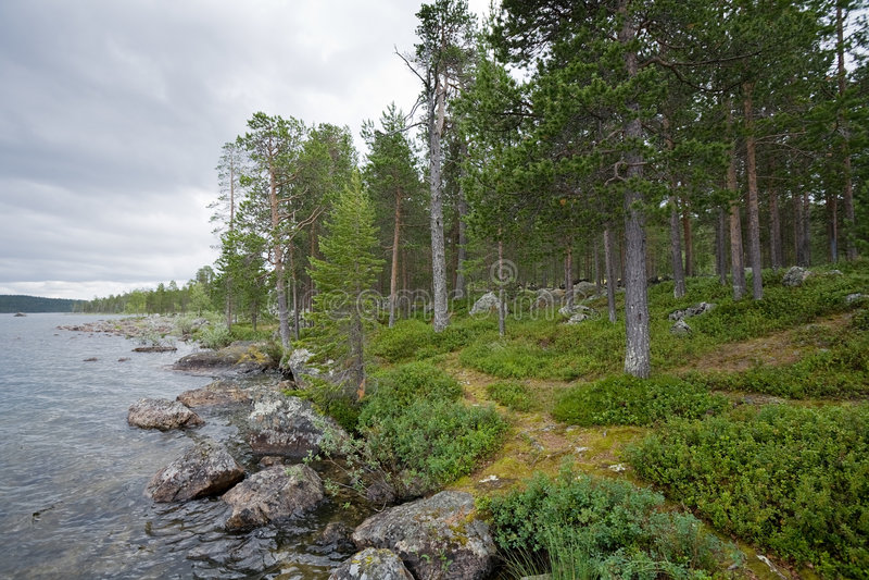 Pine-wood ashore lake
