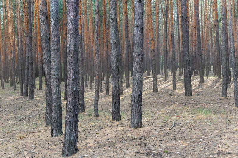 Pine wood trees in national park. Coniferous evergreen forest nature background royalty free stock photos