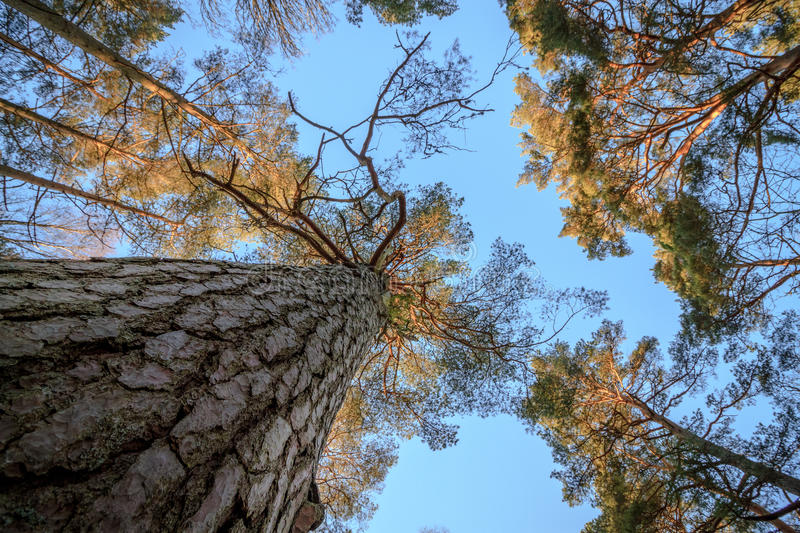 Download Pine Wood Trees, Stem, Branches And Blue Sky At Furulunden Stock Photo - Image: 83701713