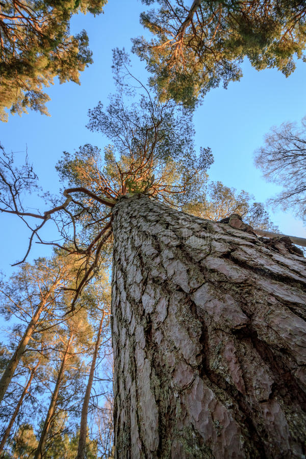 Download Pine Wood Trees, Stem, Branches And Blue Sky At Furulunden Stock Photo - Image: 83700836