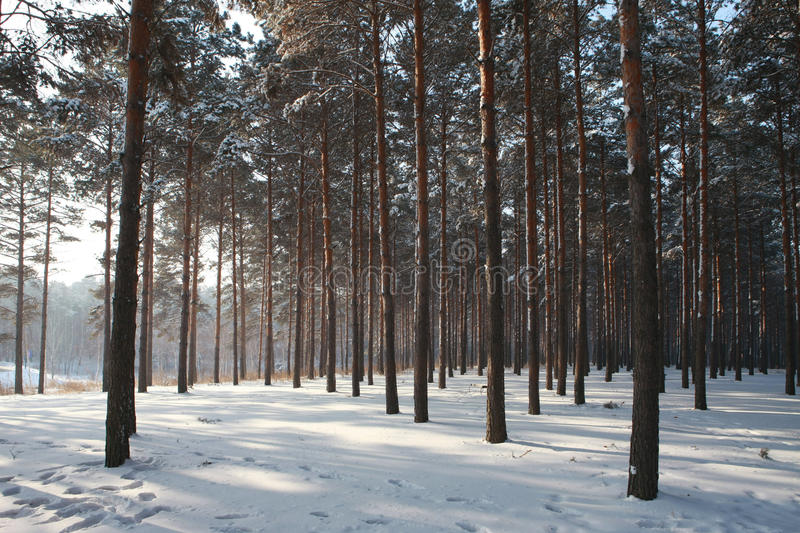 Pine Wood In Winnter Royalty Free Stock Photography