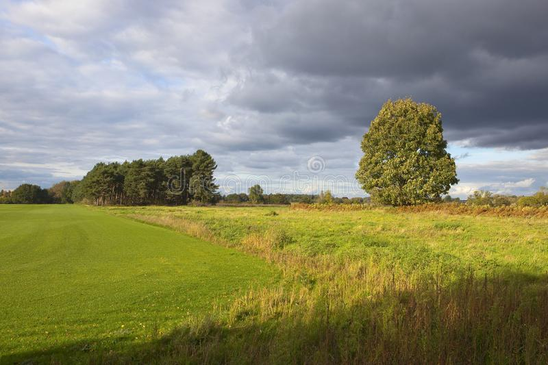 Pine woodland and turf. Pine woodland beside a green turf field and wild grasses under autumnal stormy skies in yorkshire royalty free stock photo