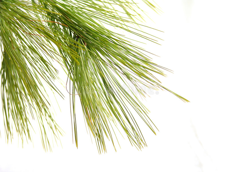 Download Pine1 stock photo. Image of evergreen, mountains, grow - 327968