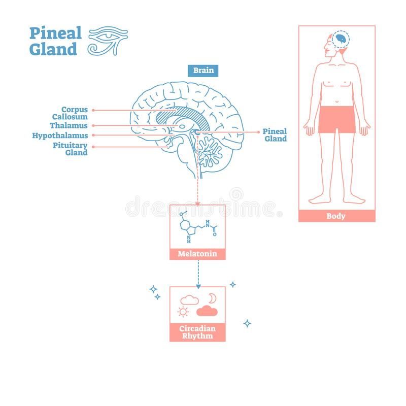 Pineal Gland of Endocrine System.Medical science vector illustration diagram. Biological scheme with brain cross section and melatonin chemical circadian rhythm royalty free illustration
