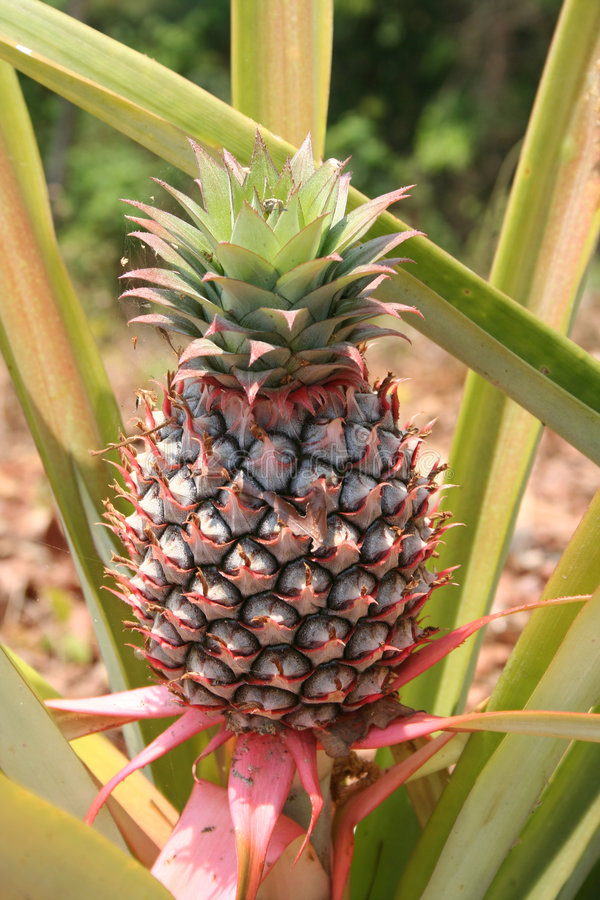 Pineapple 1 Royalty Free Stock Photo