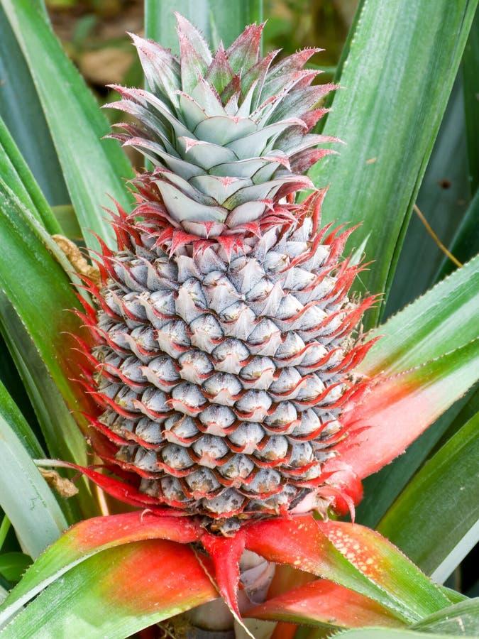 Download Pineapple stock photo. Image of hawaii, growing, cactus - 25910248