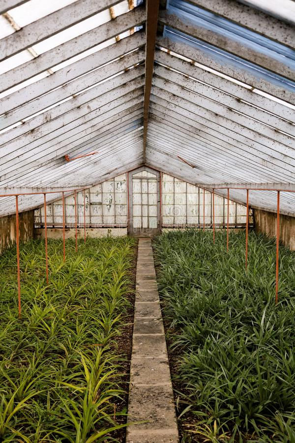 Pineapple Plantation in Greenhouse, Azores. royalty free stock images