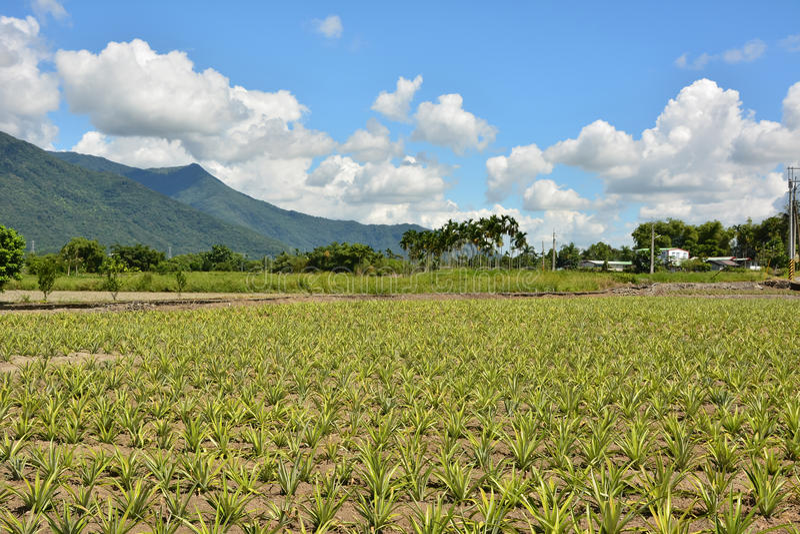 Pineapple farm royalty free stock image