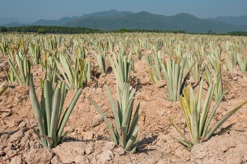 Pineapples  farm are grown in Thailand. Pineapple is a fruit that has a sour taste stock photo