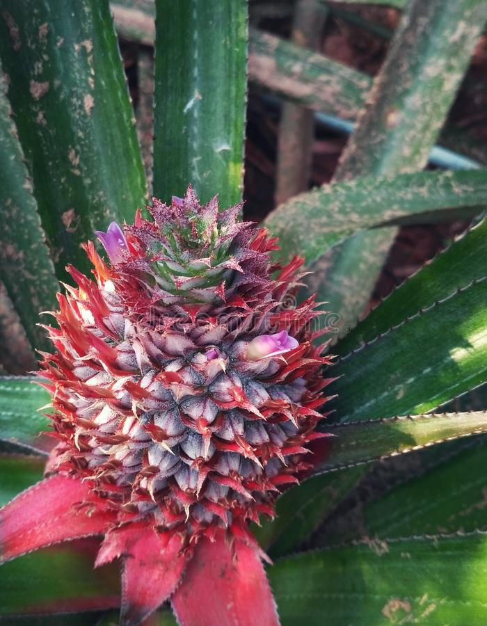Pineapple in farm royalty free stock photography