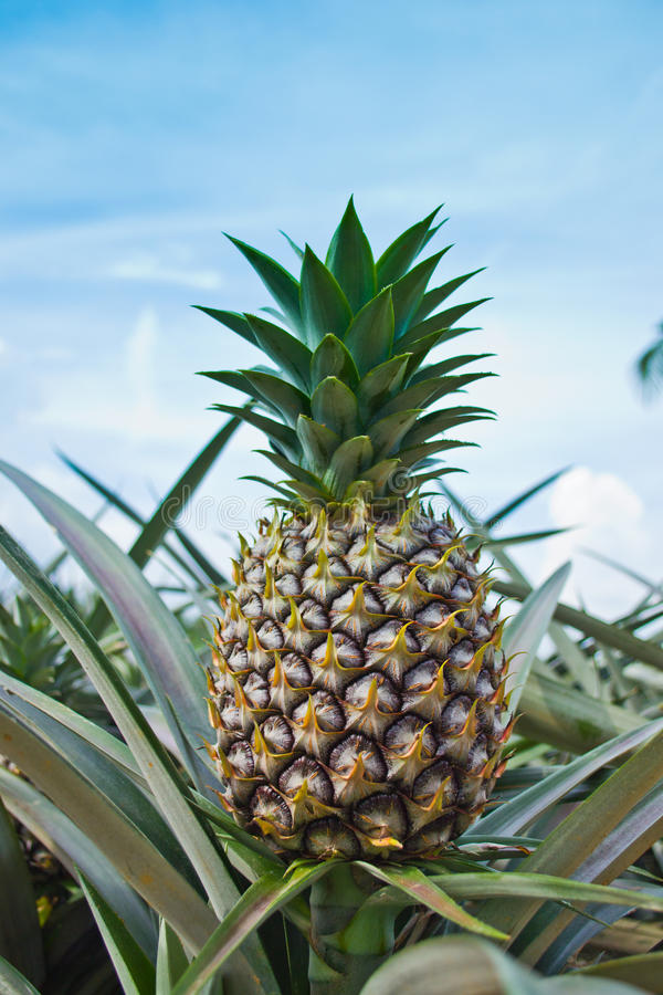 Download Pineapple stock photo. Image of grower, pine, field, healthy - 21931908