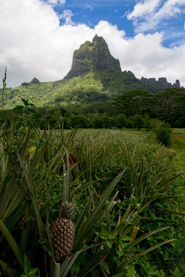Pineapple in a Field. Pineapple field below beautiful Bali Hai on the French Polynesia island of Bora Bora in the South Pacific stock photo