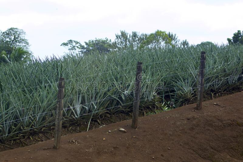 Pineapple Field  840345. Pineapple crop in field along road in Alajuela Province in Costa Rica  840345  Ananas comosus royalty free stock photography