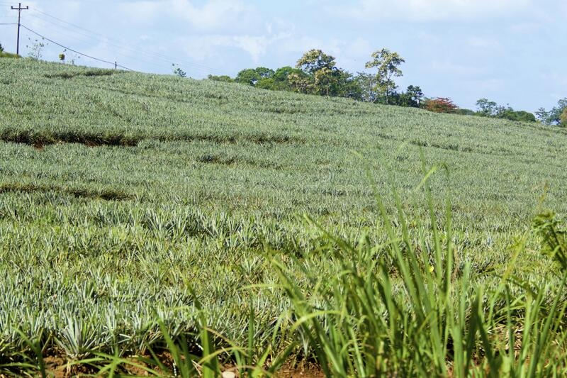 Pineapple Field  842358. Pineapple field on farm near Alajuela Costa Rica  842358 stock photo