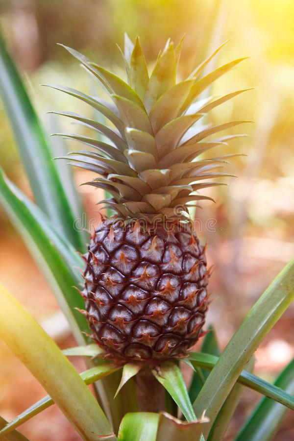 Pineapple on the field. Pineapple fruit on the field, tobago royalty free stock photography