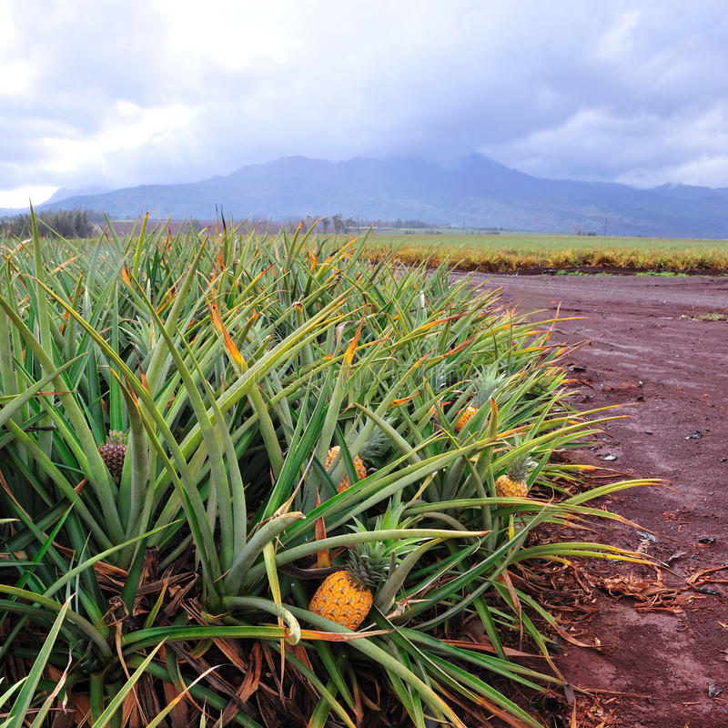 Pineapple fields in central Oahu Hawaii royalty free stock photography