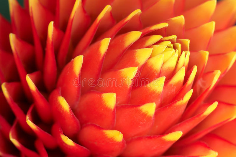 Pineapple flower stock image