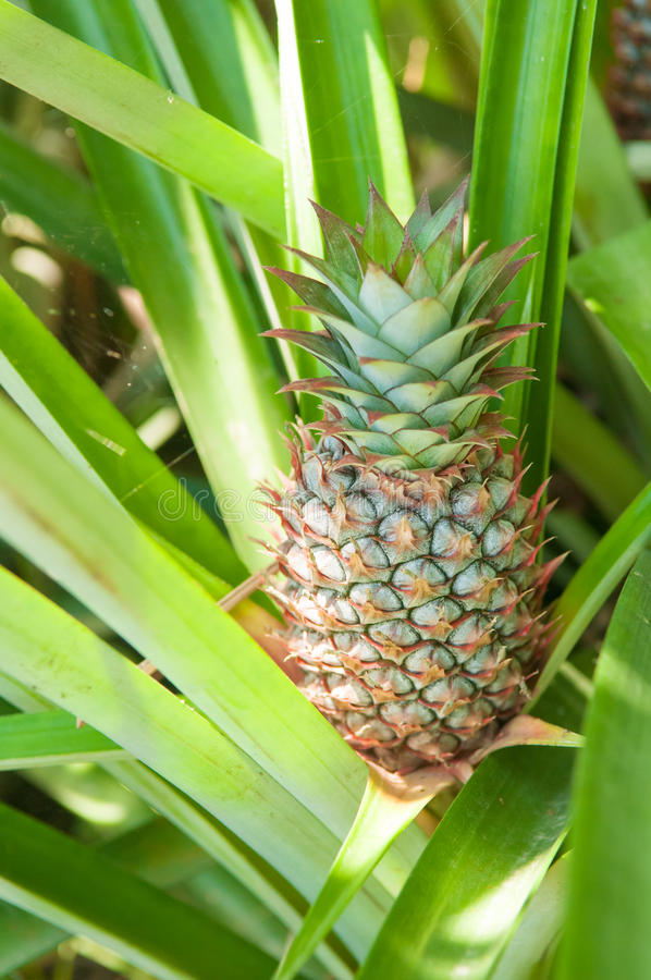 Pineapple. Fruit attached to plant stock image