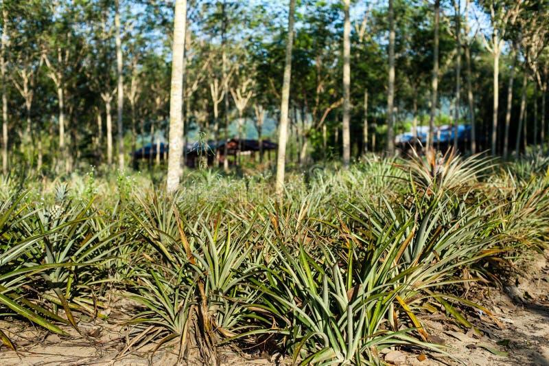 Download Pineapple Fruit On The Bush Stock Image - Image: 36331279
