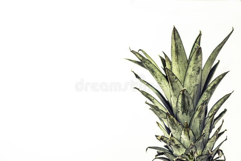 Pineapple fruit with white background stock photography