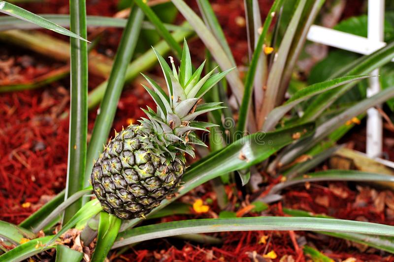 Pineapple in garden royalty free stock photo