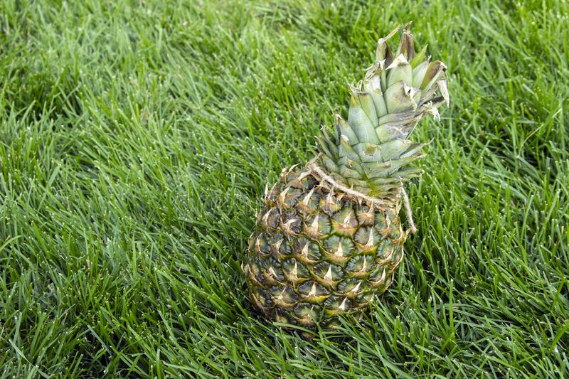 A pineapple on the green grass, Vegetarian and healthy food. Nutrition and diet background. Cosmetic industry. royalty free stock photo